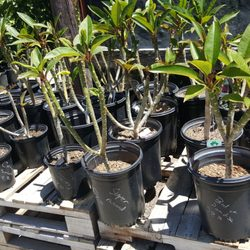 Photo Of Parkview Nursery Riverside Ca United States Plumeria Trees Are 30