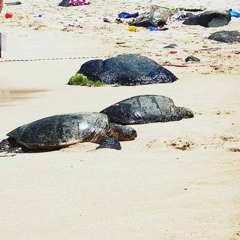 Photo Of Laniakea Beach Haleiwa Hi United States Turtles Chilling In The