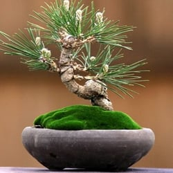Charmant Photo Of Dallas Bonsai   Garland, TX, United States