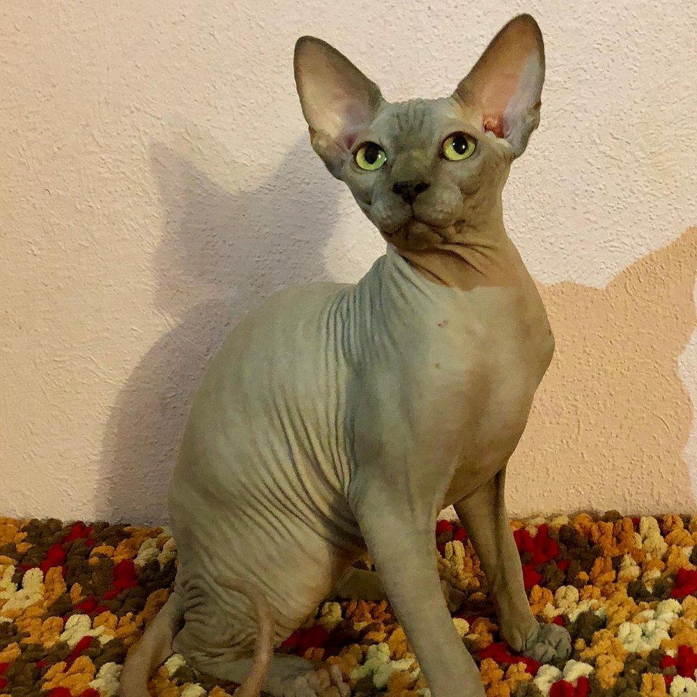 Downtown Kittens Breeder: 408 Stonebrook Estates Dr, Konawa, OK