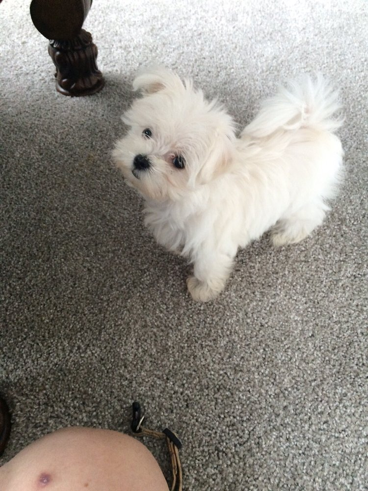 Maltese From Pocket Puppies She Is Healthy And Has A Great Little