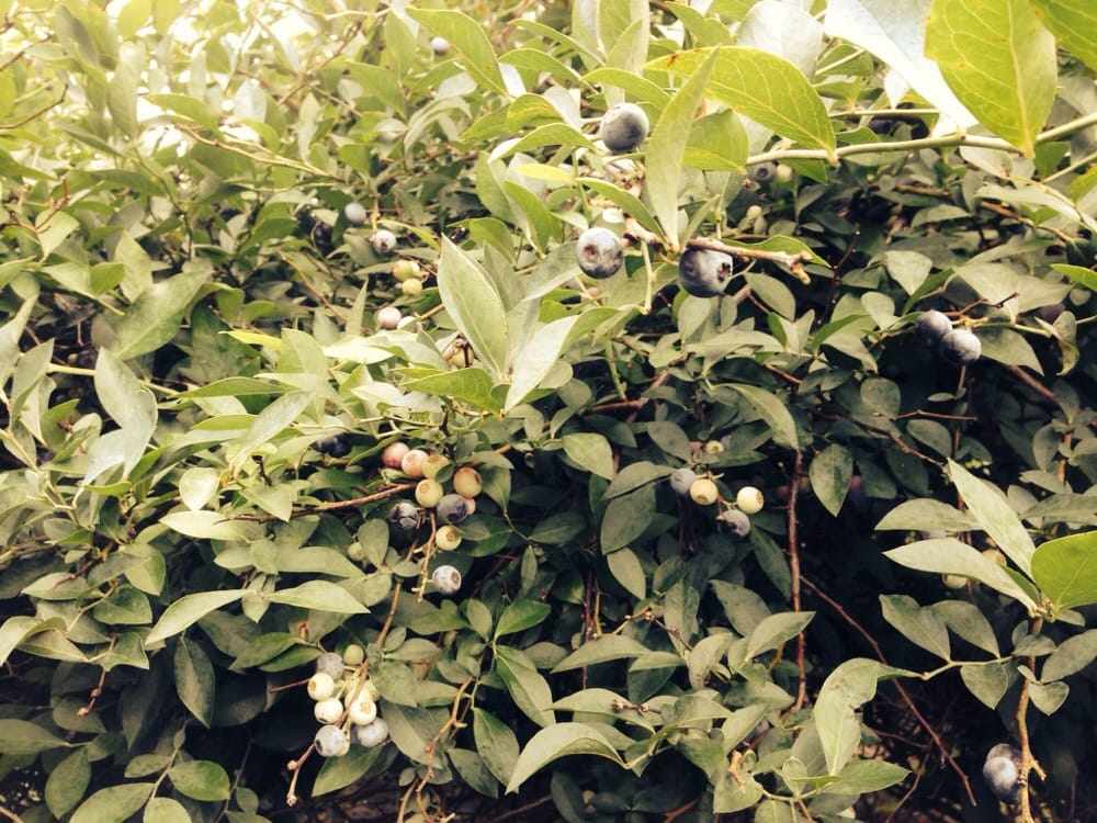 Berry Bush Blueberry Farm: 12589 State Hwy 64, Ben Wheeler, TX