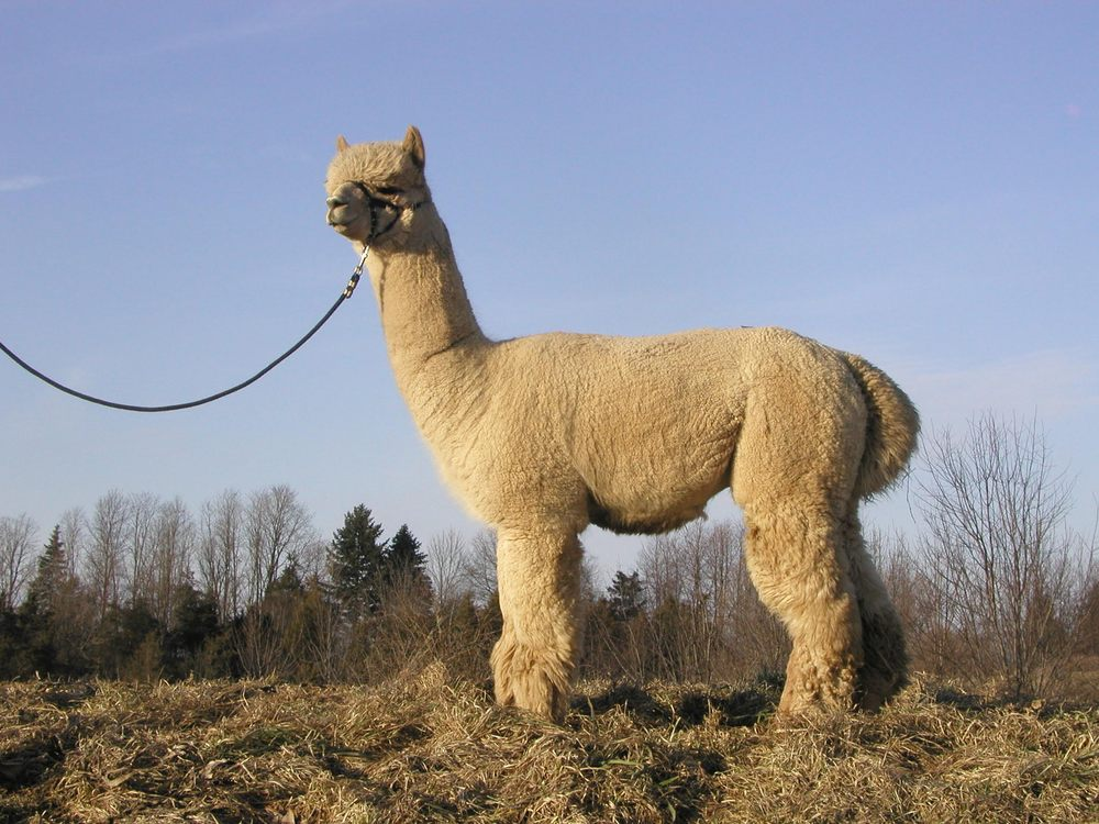 Lazy Acre Alpacas: 8830 Baker Rd, Bloomfield, NY