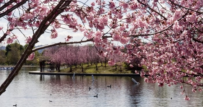 Over 2 000 Cherry Blossom Trees At Lake Balboa Full Bloom Around Mid March Http Laparks