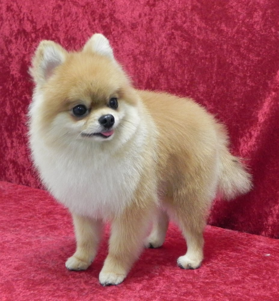 pomeranian groomer near me pomeranian first haircut groomed by caroline yelp 6894