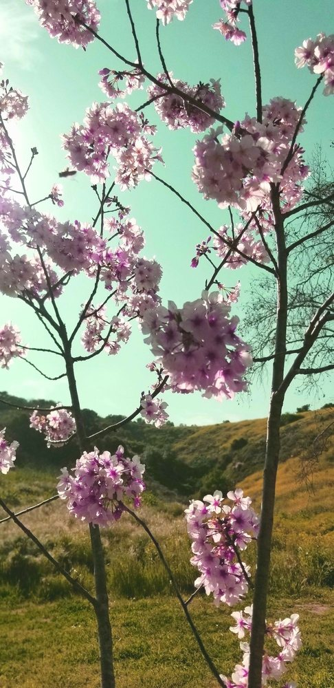 Cherry Blossom Festival - Schabarum Regional Park: 17250 E Colima Rd, Rowland Heights, CA