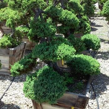 Photo Of Akita Bonsai Nursery Huntington Beach Ca United States A Juniper