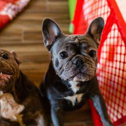 French Bulldog Breeder Anaheim Ca Last Updated July 2019 Yelp