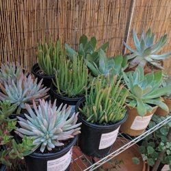 Photo Of Artemisia Nursery Los Angeles Ca United States Dudleya Section