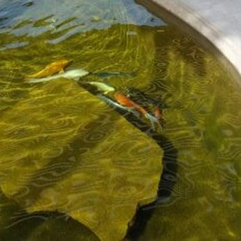 Photo Of Tucson Koi U0026 Water Gardens   Tucson, AZ, United States. Koi