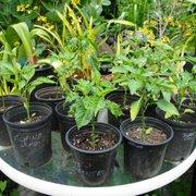 Purple Magic Photo Of Hy Plants Nursery Waimo Hi United States
