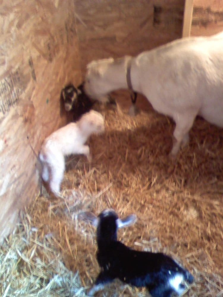 Willow Springs Goats: 60 Linwood Rd, Raton, NM