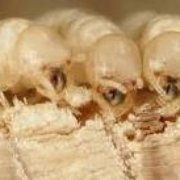 Eary Termite Pest Service