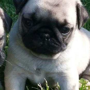 Zadacares Pug Puppies - Pet Services - Central St, Newbury