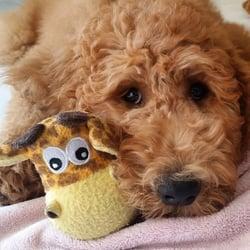 Glorias Goldendoodles - 39 Photos - Pet Adoption - 28039 Scott Rd