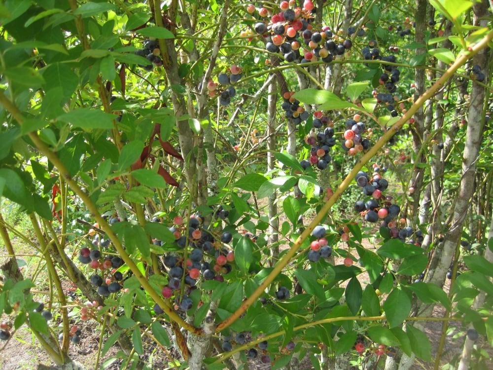 Braddock's Blueberry Farm: 4136 Thomas Mill Rd, Jacksonville, FL