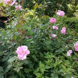 photo of shakespeare garden new york ny united states a rose by - Shakespeare Garden Central Park