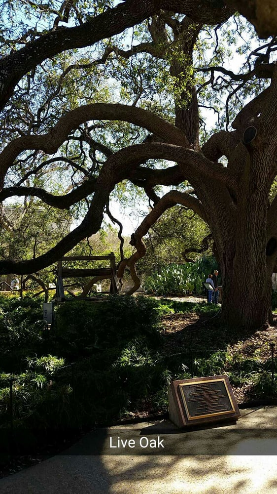 epic live oak in the courtyard at the alamo yelp. Black Bedroom Furniture Sets. Home Design Ideas