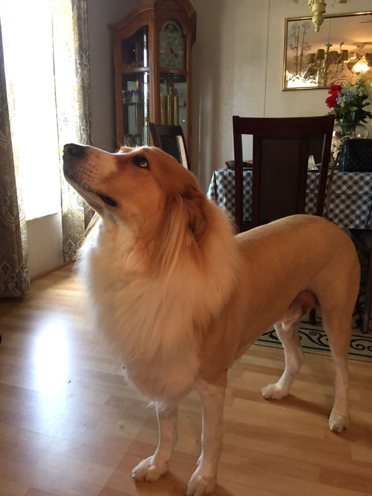 Lion Cut Dog Grooming The Best Dog 2018