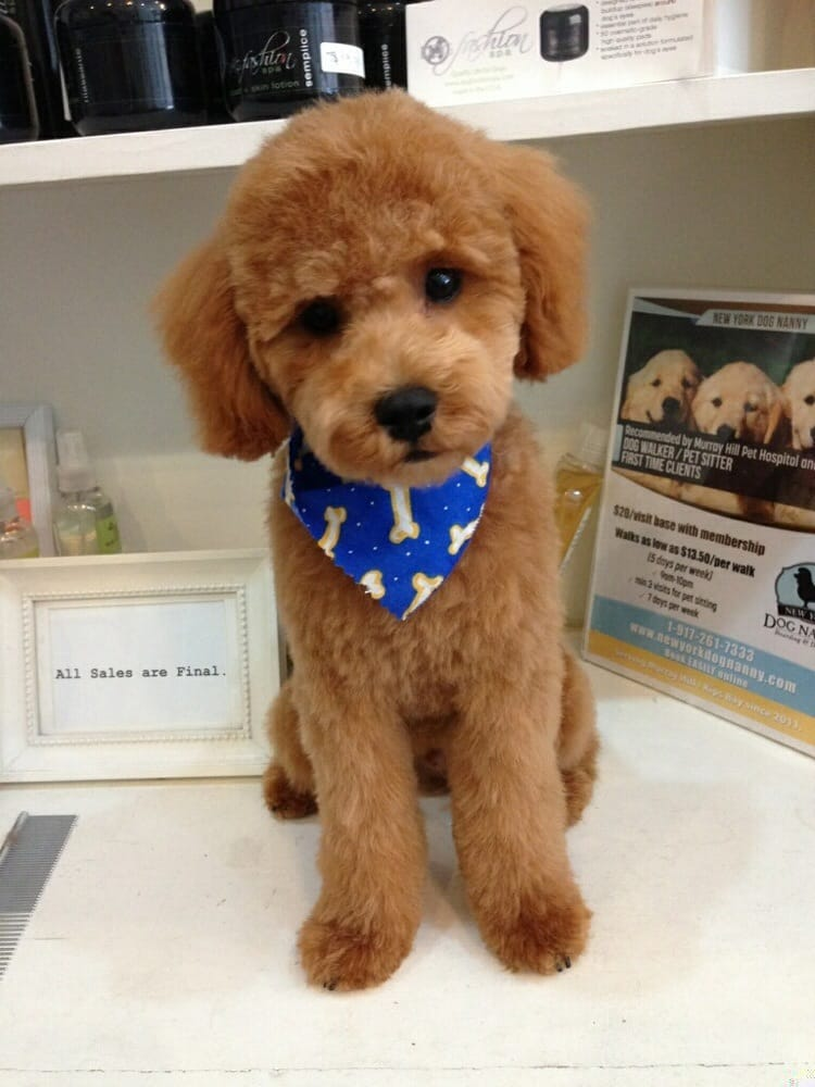 how to groom a toy poodle teddy bear cut