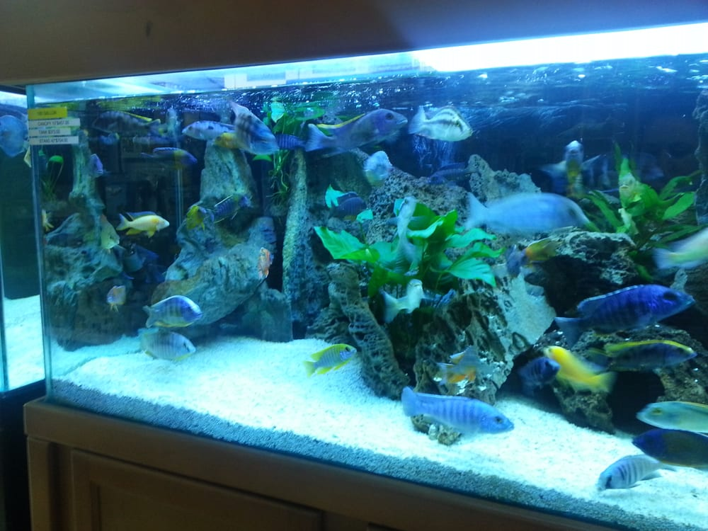 Beautiful Cichlid Aquariums   Pretty Cichlid Tank I Bought Some Live Plants From This Tank Yelp