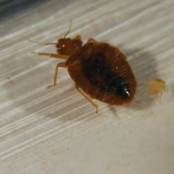 Pest Control Bloomington  Photo of Affordable Pest Control - Bloomington, IN, United States. Bed-Bugs
