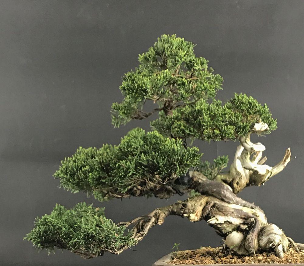 bonsai japan itoigawa juniper yelp. Black Bedroom Furniture Sets. Home Design Ideas