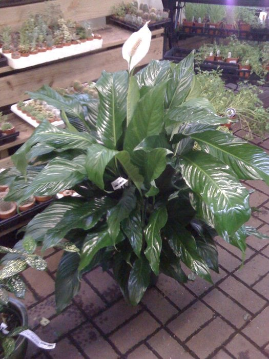 Spathiphyllum Sweet Pablo In The Greenhouse Yelp