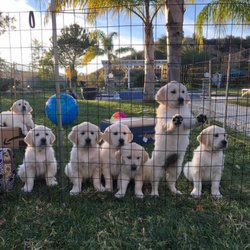 Golden Retriever Breeders Sherman Oaks Los Angeles Ca Last