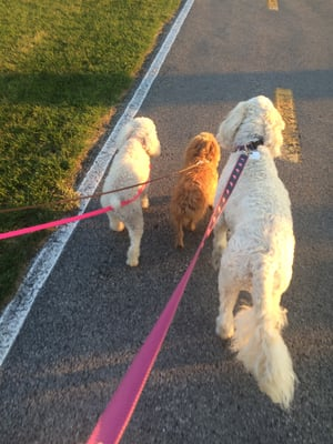 Good Neighbor Dog Walkers Dog Walkers Williamsville
