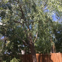 Photo Of Hardin S Tree Service Sacramento Ca United States Weeping Willow