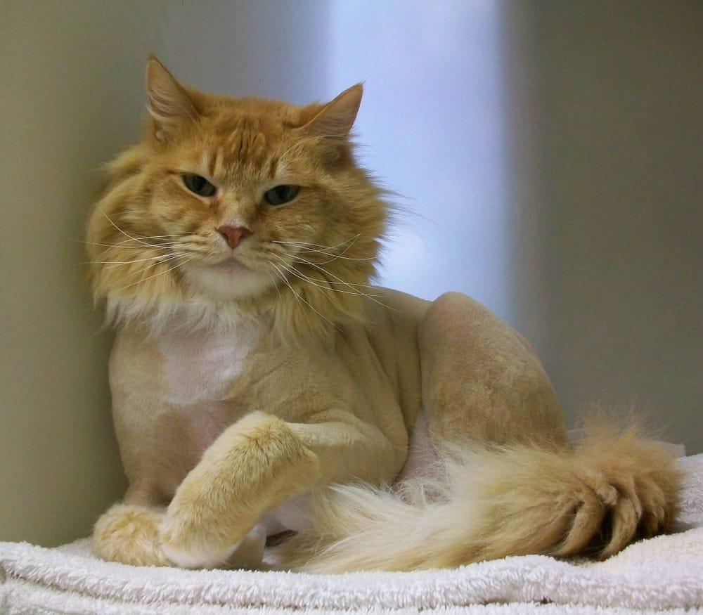 Medium Hair Cat Lion Cut