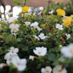 Photo Of Armstrong Garden Centers Thousand Oaks Ca United States Bacopa