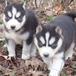 Best Siberian Husky Puppies 14 Photos Pet Breeders 12 W 17th