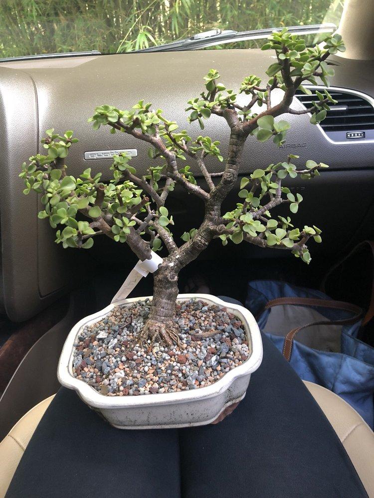 Dragon Tree Bonsai