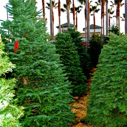 photo of surfing santa christmas trees huntington beach ca united states christmas - Santa Trees