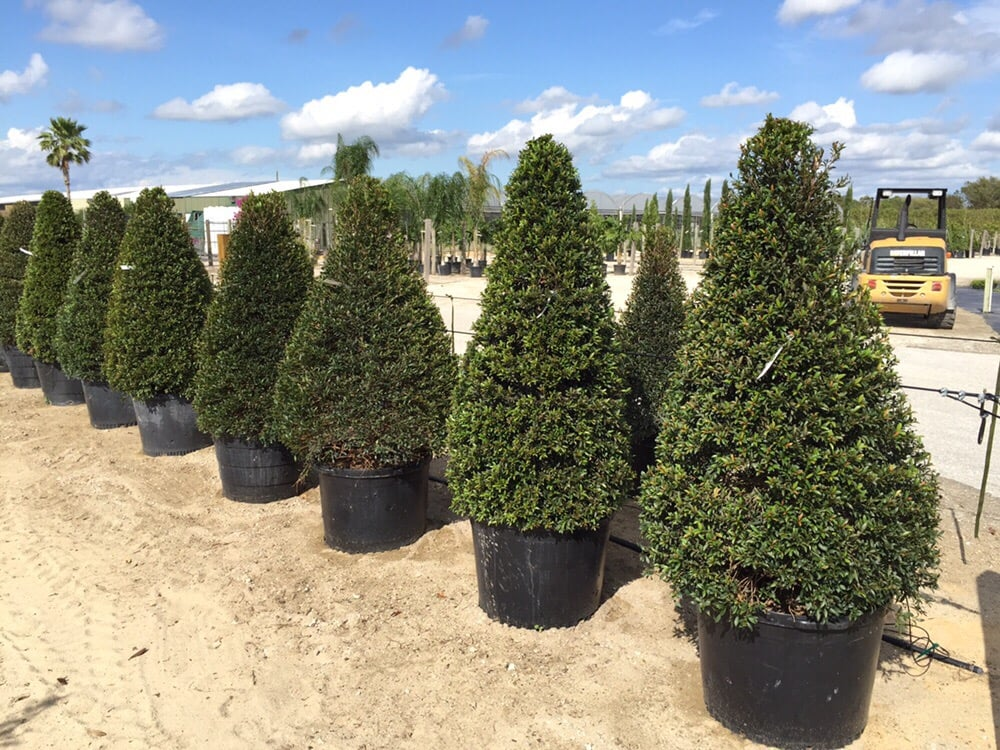 Beautiful And Full Eugenia Topiary Cones In 30 Gallon Pots