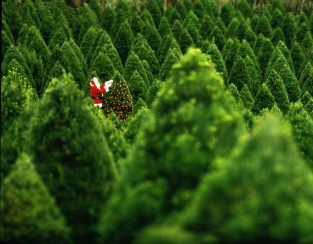 North Star Christmas Trees: 11120 Cherry Hill Rd, Adelphi, MD