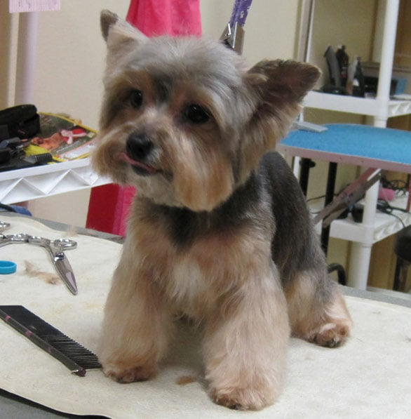 teddy haircut for yorkies the gallery for gt boy yorkie haircuts 4574