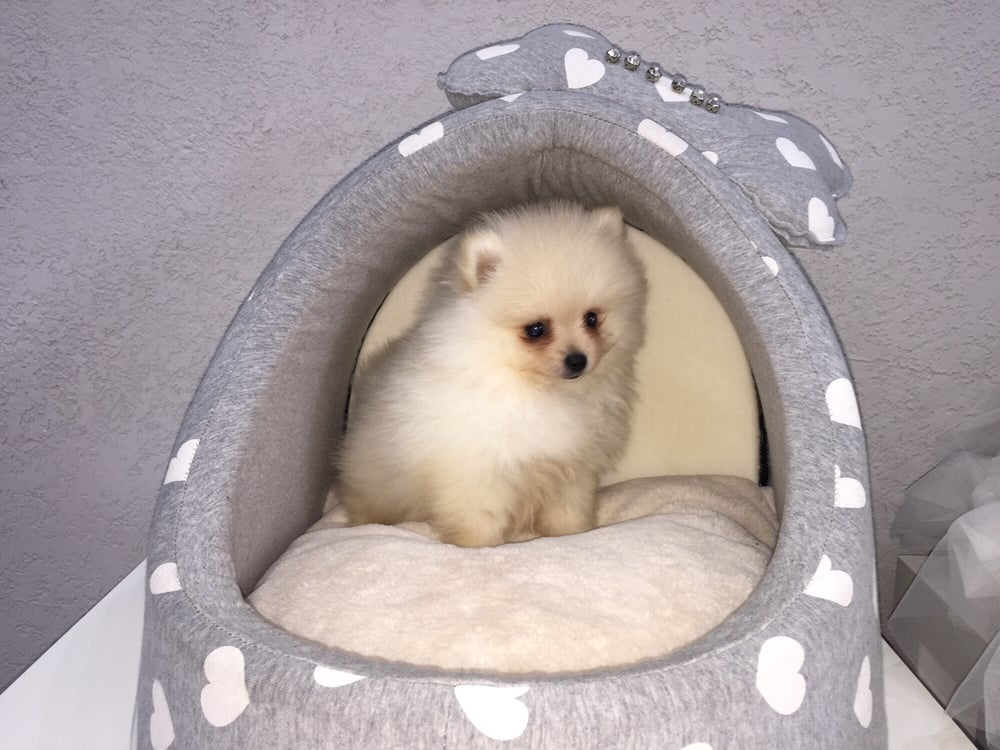 White Teacup Pomeranian Boo Puppies For Sale - Yelp