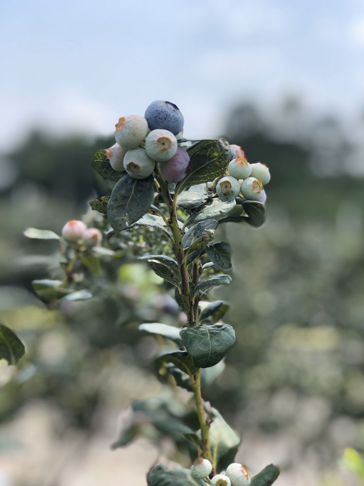 Blueberry Bunch Farm: 2754 Howard Rd, LaBelle, FL