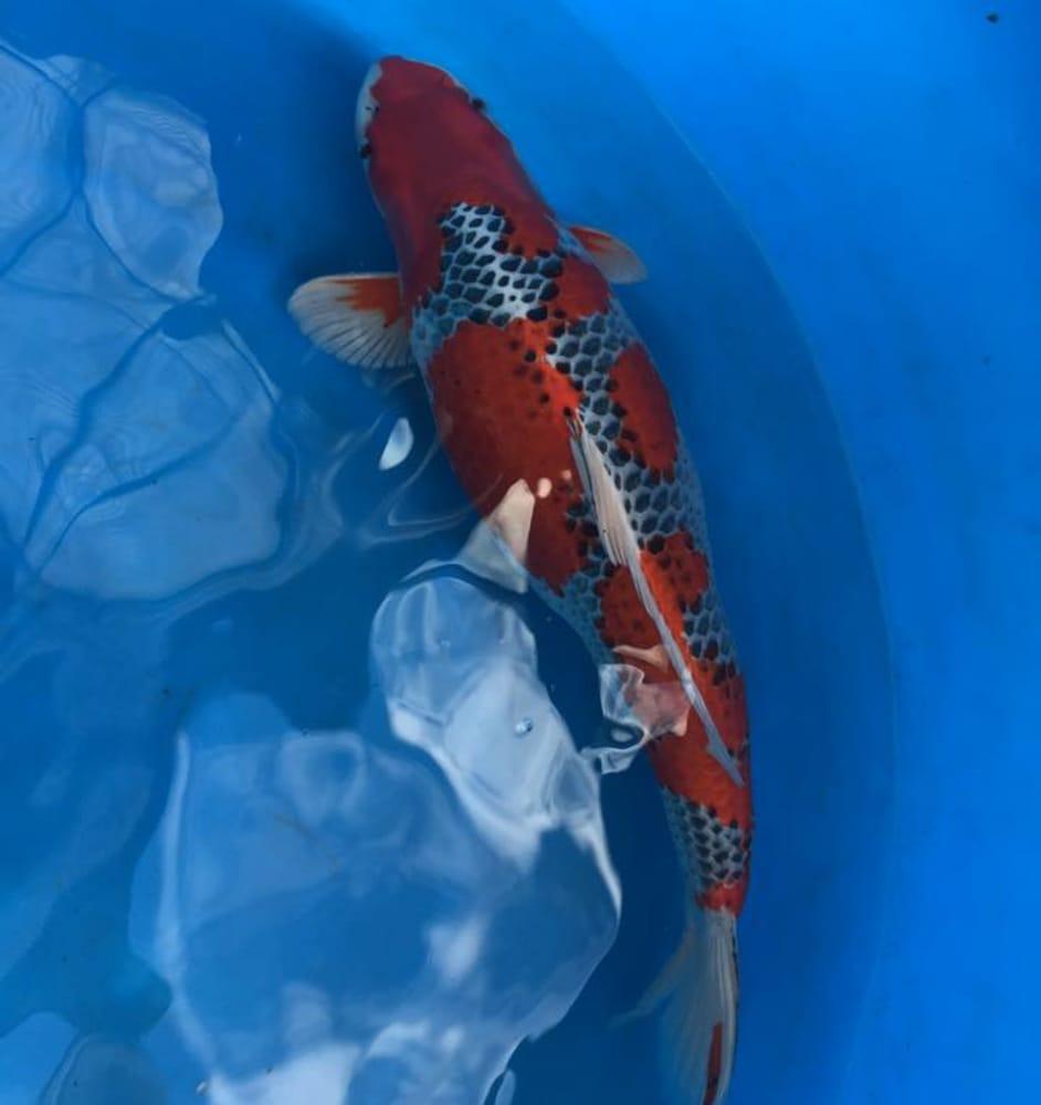 Cali koi 57 fotos e 13 avalia es lojas de animais for Como criar peces koi