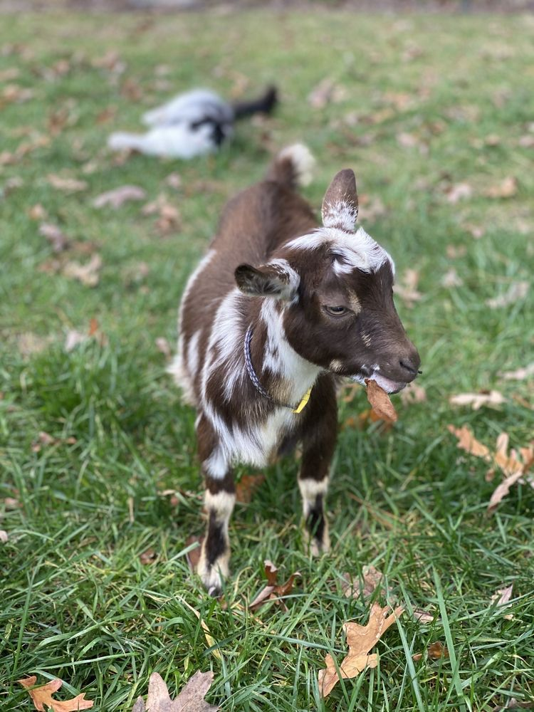 Goat Joy: 22114 Ritter Ln, Harbeson, DE
