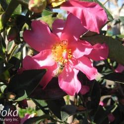 Photo Of Sakioka Whole Nursery Inc Westminster Ca United States Camellia