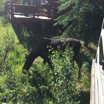 Photo Of Grand Mountain Rentals   Grand Lake, CO, United States. Female  Moose