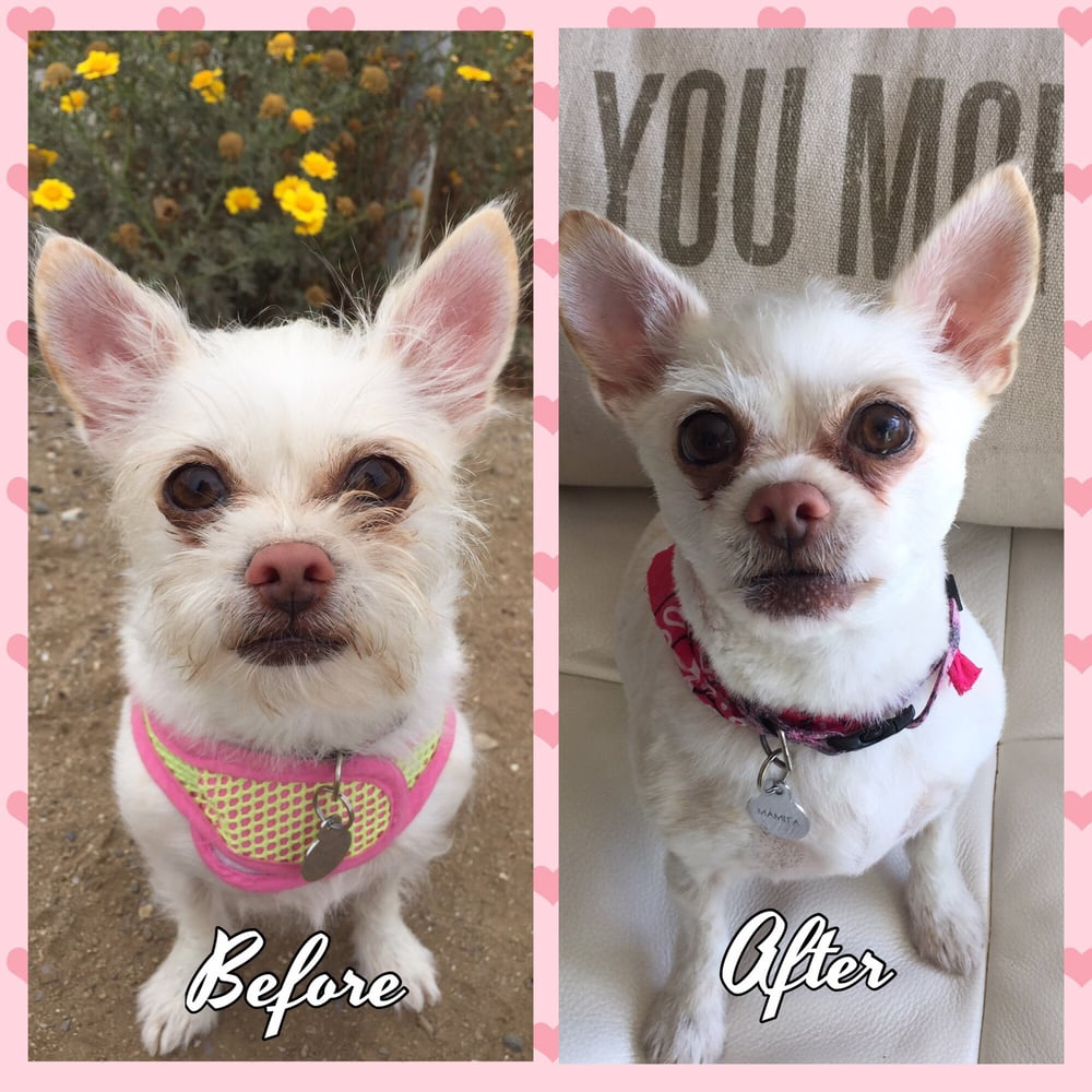 Mrs magoo aka mamita loved her haircut and she usually shakes but photo of loving bond mobile pet grooming culver city ca united states winobraniefo Image collections