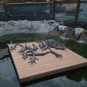 Photo Of Smugglers Cove Adventure Golf Bradenton Fl United States Baby Alligators