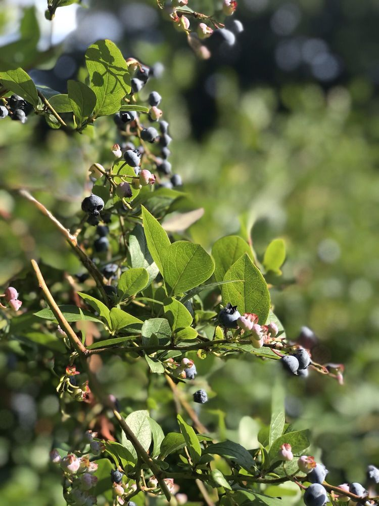The Blueberry Patch: 7015 Blackwell Dr, Sawyer, MI