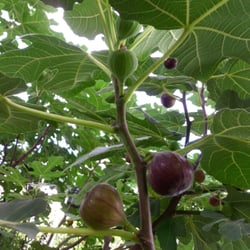 Photo Of My Italian Fig Tree Ord Ct United States Yes