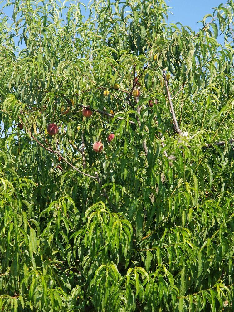 Suzanne's Fruit Farm: 77 Peach Ct, Hampton, AR